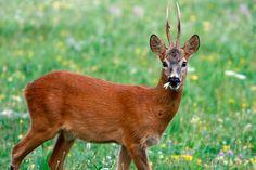 #Capriolo #animale #animal #natura #selvaggio #rispetto #ambiente #photo #foto #fotografia #fotografianaturalistica #macro #documentario #documentary #vita #life #ungulati
