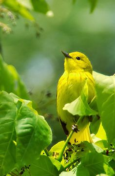 yellow warbler. Bright life! #birds #nature #animals