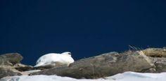De belles images de lagopèdes filmées non loin de Megève, en Haute-Savoie.