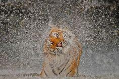 Gran premio assoluto e vincitore natura  Foto e didascalia Ashley Vincent    La protagonista della foto si chiama Busaba, una tigre molto ben tenuta al Khao Kheow Open Zoo, Thailandia. L'ho fotografata molte volte, ma sono riuscito finalmente a realizzare uno scatto originale quando l'ho sorpresa a farsi il bagno e a scuotersi dall'acqua. Quel giorno Madre Natura mi ha sorriso!    Dove: Khao Kheow Open Zoo, Chonburi, Thailandia