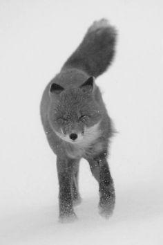fox in wind