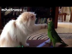 Very Funny Video Clip - Funny Cat  and birds- Amazing Entertainment -  #bird #birds  #birding #animale #bird_watchers_daily #animal #birdwatching #pets #nature_seekers #birdlovers Watch all he videos related to entertainment. That can amuse you, entertain you. Having fun with family and friends and many more. Subscribe for more: ☺  - #Birds