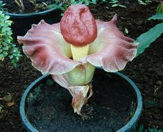Google Image Result for http://www.onlyfoods.net/wp-content/uploads/2012/03/Amorphophallus-Paeoniifolius-Images.jpg