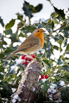 Thorny problems: the Christmas gardener's guide to holly and ivy