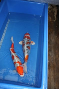 kloubec kujackus Koi For Sale, Ponds, Fish, Pisces, Water Feature
