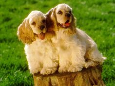 cocker spaniel puppy pictures - Google Search