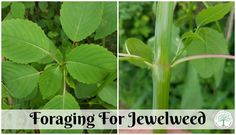"""If you run into poison ivy or stinging nettle while foraging, you will want to get to know jewelweed, nature's """"cure"""" for poison ivy rashes. The Homesteading HIppy"""