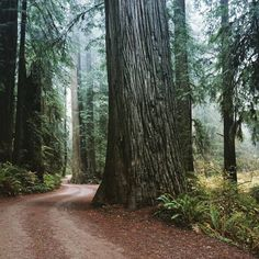 The Open Road, Redwoods, National Park, huge, big, trees, windy, road
