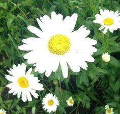 Daisy, My Photo Linkies
