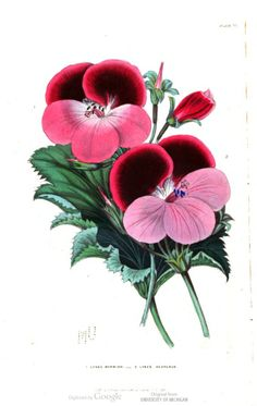 Pelargoniums, in The British florist; or, Lady's journal of horticulture, Vol 6, 1846.