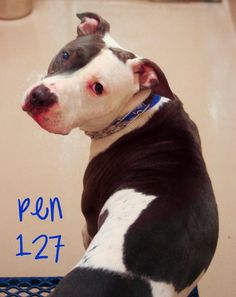 ★9/10/15 STILL THERE!★PLEASE HURRY! COME GET ME BEFORE THEY KILL ME! I'M A GOOD DOG!!★Helping Animals at Gwinnett County Animal Control in Lawrenceville GA Animal ID# 46594 Pen 127 MALE Pit Bull 3 years Can be adopted on 8-25-2015 Call the shelter for more information. 770-339-3200