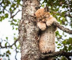 The adorable snap of the two lynx kittens was captured at Langedrag Nature Park in Norway. Photographer Cecilie Sonsteby also pictured one holding on for life as it took a nap up a tree. I Love Cats, Crazy Cats, Big Cats, Cats And Kittens, Cute Cats, Cute Baby Animals, Animals And Pets, Funny Animals, Beautiful Cats