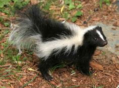 Just in case! How to de-skunk your dog- the natural way (and it really works! Funny Animal Names, Funny Animals, Cute Animals, Baby Animals, Animal Memes, Funniest Animals, Skunk Smell, Baby Skunks, Homestead Survival