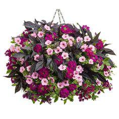 Proven Winners Superbena Royale Plum Wine (Verbena) Live Plant, Magenta Flowers, 4.25 in. Grande