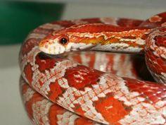 Strawberry Corn Snake