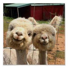 Watch all of the animals in Gore Farm. A wide selection of animals including Donkeys, Rabbits, Shetland Ponies, Pigs, Wildfowl and Alpacas. Happy Animals, Cute Funny Animals, Cute Baby Animals, Funny Cute, Wild Animals, Creepy Animals, Super Cute Animals, Animals Dog, Alpacas