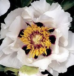 Early | joseph rock peony tree