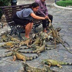 Ecuador. Some people feed pigeons, others feed these guys. xxx