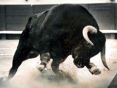 El toro es negro, fuerte, y muy peligroso. El toro es un animal inteligente.