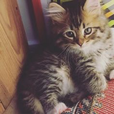 mostly Siberian but a little bit Main Coon. 8 weeks old Misha. <3 Siberian Cat Siberian Kitten
