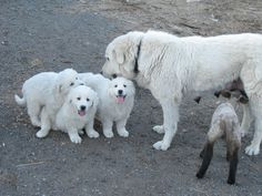 Maremma mom with puppies, little goat feeding off the dog mom Maremma Dog, Maremma Sheepdog, Big Dogs, Cute Dogs, Dogs And Puppies, Doggies, Great Pyrenees Dog, Pyrenees Puppies, Baby Animals