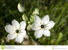 The Star of Bethlehem Flower or Ornithogalum umbellatum is a winter bulb that belongs to the Lily Family. This winter bulb blooms late in spring or early in summer. The Star of Bethlehem is indigenous to the Mediterranean and is quite similar to that of the wild garlic.  This winter bulb also has arching leaves like the wild garlic but doesn't have the garlic odor when it's crushed. The flowers of Star of Bethlehem, when in bloom are attractive for a few weeks but have somehow escaped…