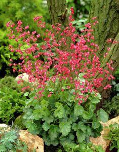 Blodalunrot 'Splendens' Höjd 15 cm Röd | Plantagen