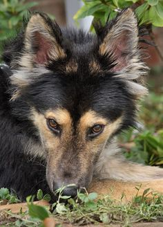 Tovi von Torgau is a delightful 10 month old shepherd mix puppy. Every time he goes on a walk, he is showered with compliments on his looks.  Westside German Shepherd Rescue of Los Angeles