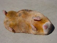 """14-billion-years-later: Nature's One and Only Iridescent Mammal: The Golden Mole Golden Moles (Family: Chrysochloridae) are not true moles, but rather have converged evolutionarily on a similar body plan. Like other true moles the desert varieties of golden mole also don't construct burrows but rather appear to """"swim"""" through sand. Another interesting fact is that they've also evolved such efficient kidneys that most species don't need to drink water. These African natives are also the only…"""