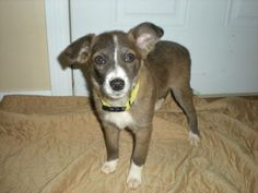 Awwwwww Little Flower is extremely sweet and loving. She has a very sweet personality. Flower is hoping you will want to welcome her into your home to be a part of your family. She does well with children.Please know that border collies are active...