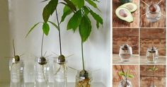 Volvemos a publicar el truco para plantar una semilla de aguacate o palta, ¡no te lo pierdas!
