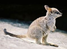 A Baby Wallaby Enjoying The Beach