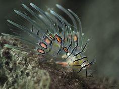 Scorpionfish (Pterois antennata), baby