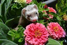 Slynky the Ferret by Ryan Lindquist  & garden ferret   http://www.pinterest.com/pin/461056080574144576/