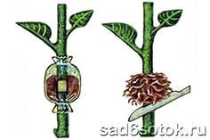 Размножение яблони. Почти в каждом саду есть любимая яблоня, название сорта которой давно забыто, а яблоки такие вкусные, что хочется сохранить дерево на долгие года. Как же это сделать? Яблоня все стареет и стареет, а …