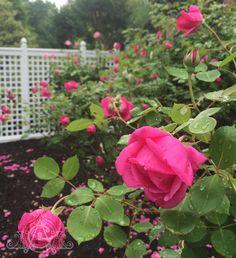 The after a hard with pink Pink Petals, Rain, Roses, Garden, Plants, Rain Fall, Rose Petals, Garten, Pink