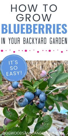 You can grow blueberries in your garden, but they also make a great landscape plant. They have beautiful fall foliage and pretty spring flowers, plus they produce edible fruit. What's not to love about blueberries? #dogwoodsanddandelions #blueberries #growingblueberries #landscape #backyardgardening Blueberry Plant, Blueberry Bushes, Gardening Zones, Container Gardening, Fruit Garden, Vegetable Garden, Amazing Gardens, Beautiful Gardens, Growing Blueberries