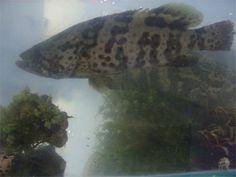 Sea grape and a big fish. I love them!
