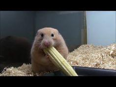 Tiny hamster eating baby corn.