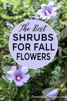 Great ideas for shrubs with fall flowers These plants will provide color in your garden when most other perennials have stopped blooming fromhousetohome fall gardening gardenideas gardeningtips fallflowers fallflowers sunperennials landscapeideas # Garden Shrubs, Shade Garden, Garden Plants, Herb Garden, House Plants, Summer Plants, Fall Plants, Sun Plants, Tips And Tricks