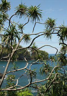 Fragrant Tree...!  Pandanus tectorius - Hala, Tahitian Screwpine, Pu Hala, Screw Pine, Textile Screwpine, Thatch Screwpine, Pandanus, Pandan, Tourist Pineapple, Pineapple Tree