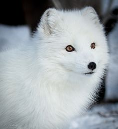 White fox | Flickr - Photo Sharing!