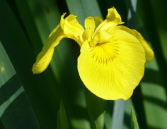 A lovely Yellow Iris blooms as another sign of the Ohio spring! Leica V-lux 3 #biggestweek https://www.facebook.com/photo.php?fbid=444659418895769=a.444659055562472.117192.355103211184724=3