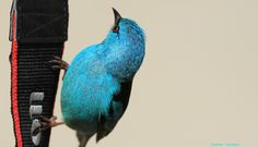 #Birds #WildLife #Avian  Climbing the Canon Strap by Itamar Campos.  Dacnis Cayana (male) taken in Morretes Brazil.