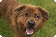 Image result for boxer chow chow