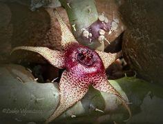 Huernia tanganyikensis