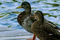 Mr. and Mrs. Quack