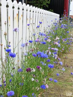 Beautiful flowers along a picket fence - what's not to love!