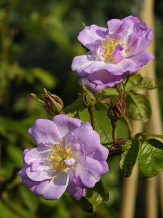 'Narrow Water' | Noisette Rose. Discovered by Unknown (1883) | Flickr - © Britta Niermeyer