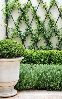 Formal & Tailored Gardens | Espalier vine & Potted Boxwood